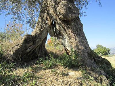 Olijfboom in de gaard van San Giacomo, Italië